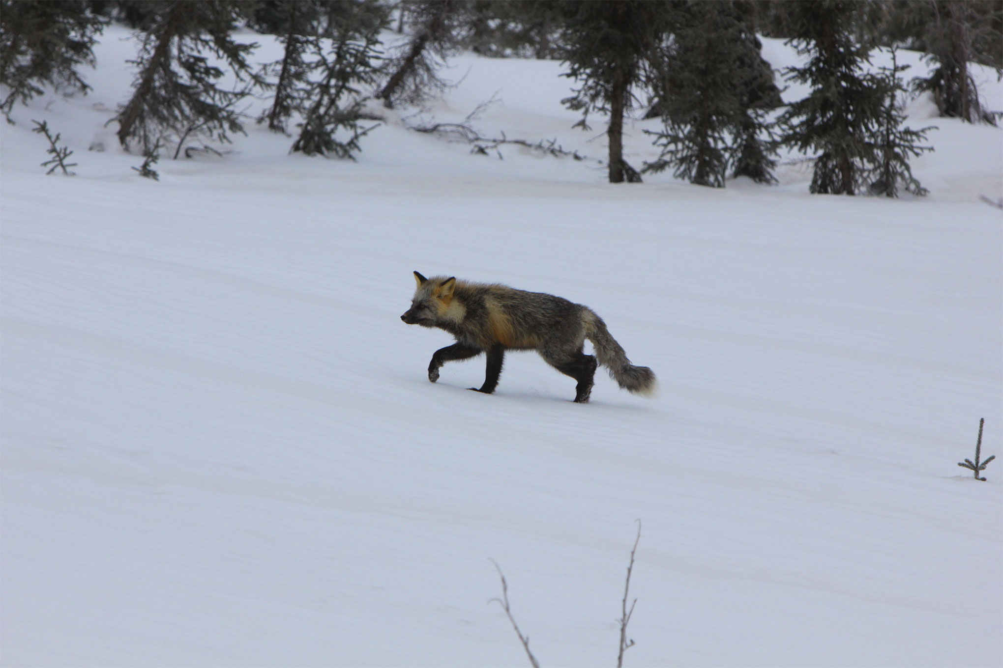 And just as we cleared the whiteout conditions, another local greeted us from the brush and cover. He watched us pass but then ran off uninterested in our big exploration vehicles.