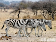 129 1003 08 o+hummer h3+burchell zebra