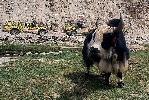 Yaks are a mainstay of the area's inhabitants—this one was found near the Rupsu Valley.